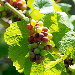 RAIMES English vineyards produce an elegant sparkling wine that captures the beauty of our little pocket of England. Visit our website to find out more.